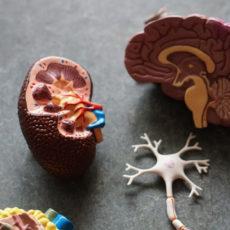 Decorative photo of model organs